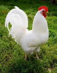 ayamjua