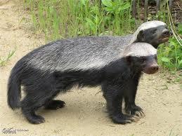 badgerberkepala2