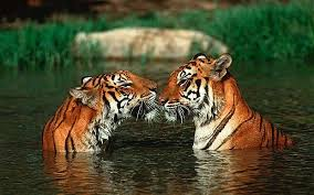 Anda lari ke atas pokok, tiger panjat pokok. Anda lari ke dalam sungai, Tiger dapat berenang. Di mana lagi anda dapat lari??