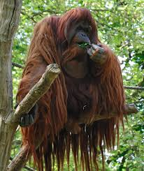 Is this an orang utan???